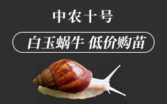 白玉蜗牛 低价购苗